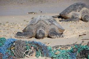 Two turtles on a beach facing discarded fishing nets