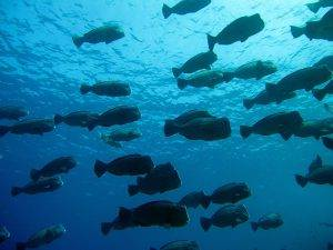 A school of bumphead parrotfish vital for coral reefs
