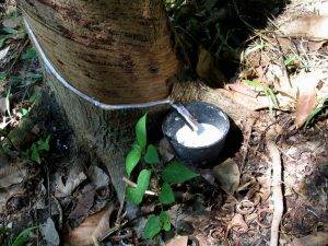 a bowl collecting sap from a rubber tree