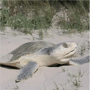 Kemp's Ridley sea turtle on the beach