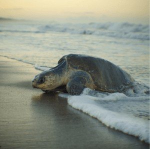 Olive Ridley sea turtle in the surf