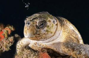 Loggerhead sea turtle sleeping