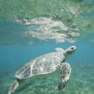 Australian flatback near the surface