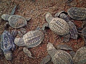 turtles hatching