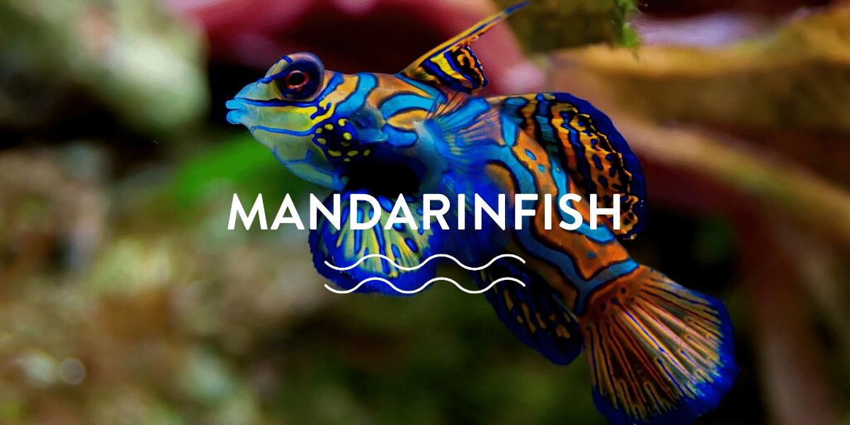 Mandarinfish Mating Rituals and More…