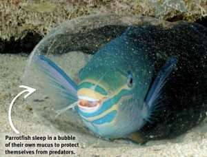 Parrotfish in its mucus cocoon