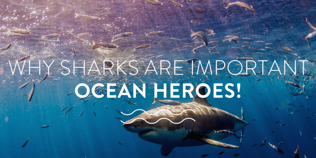 Why Sharks are Important Ocean Heroes