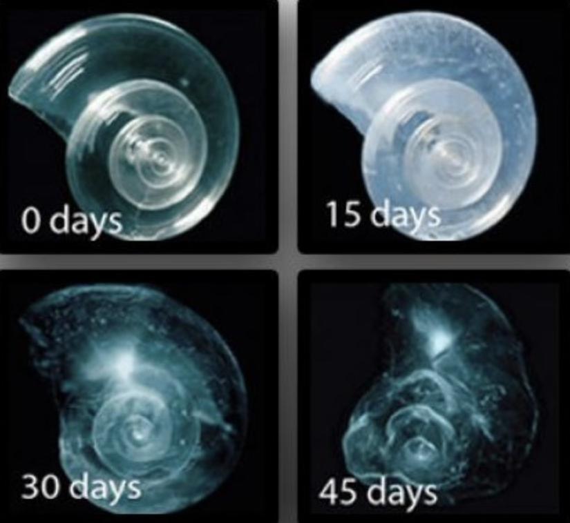 ocean acidification impact on pteropod's