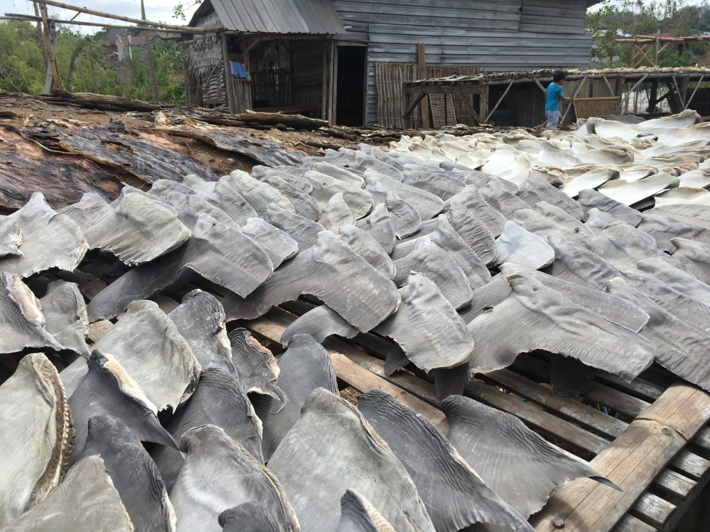 Shark fins laid out to dry - just one type of shark fishing