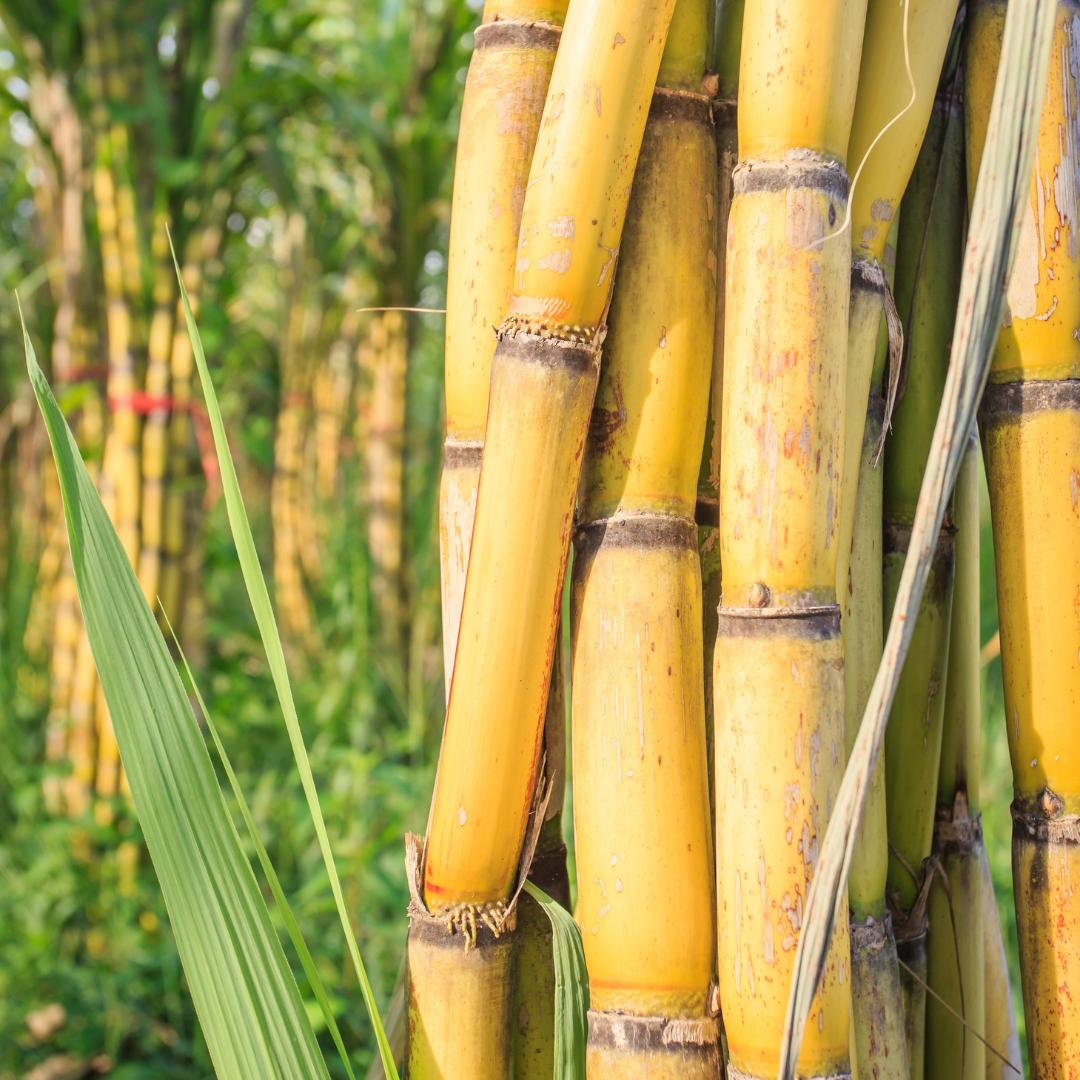 sugarcane - plant source of squalene