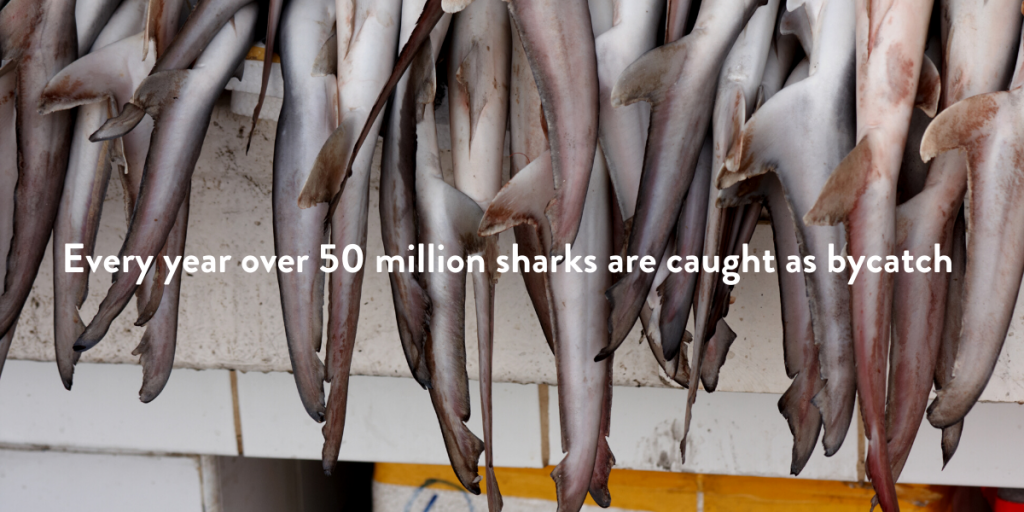 every year over 50 million sharks are caught as bycatch - we need to protect them to protect the ocean
