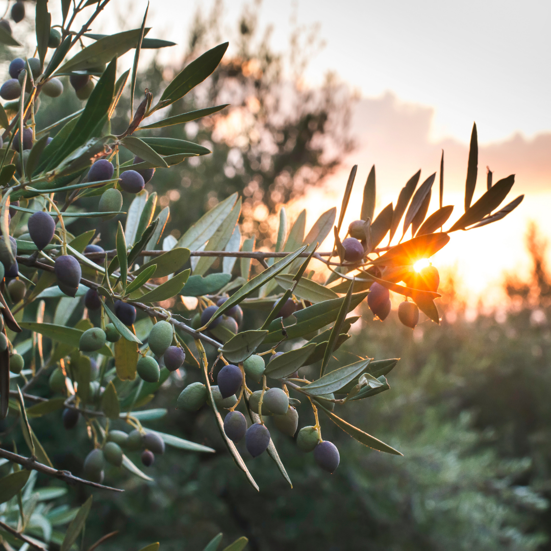 olives - a plant based source of squalene