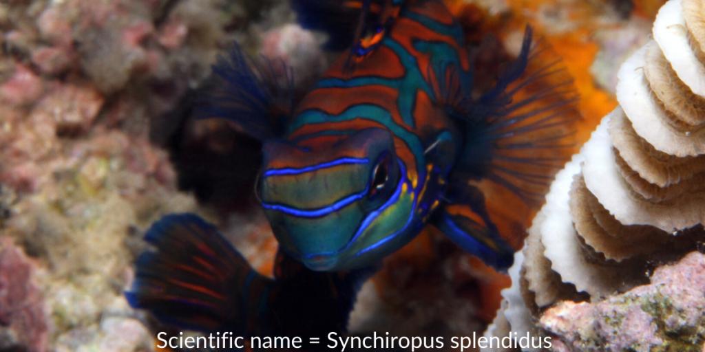 Mandarin scientific name = synchiropus splendidus