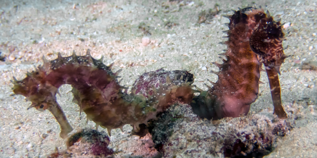 Pair of seahorses - long term underwater relationship example