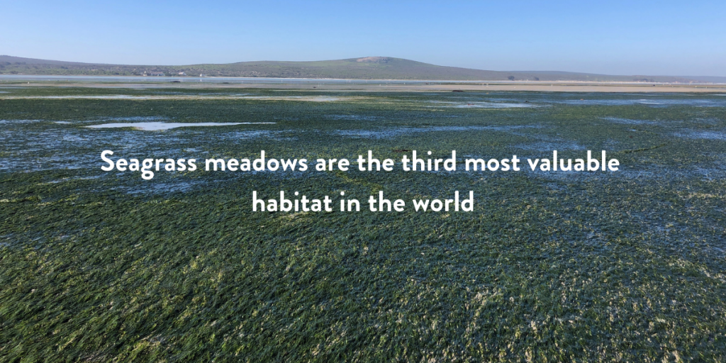 Seagrass meadow right by the coast at low tide