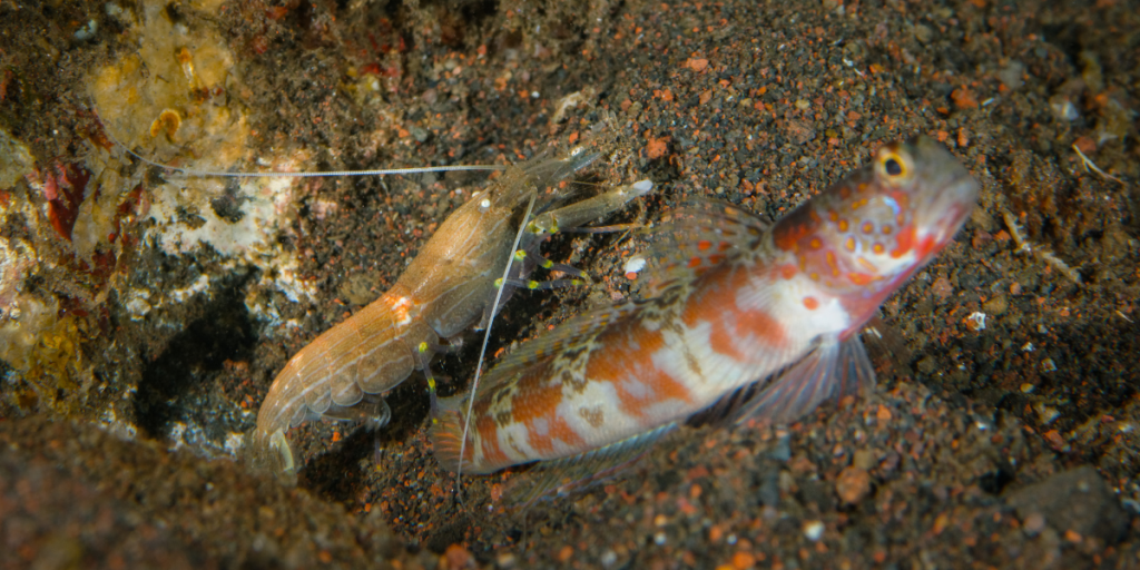 shrimp and gobi - example of mutualistic underwater relationship
