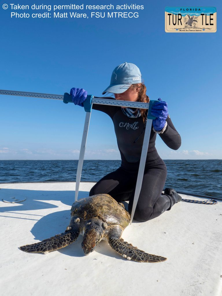 Marine ecologist Alexa collecting standard measurement data from a juvenile green turtle in the Gulf of Mexico, Florida, USA  during her masters project