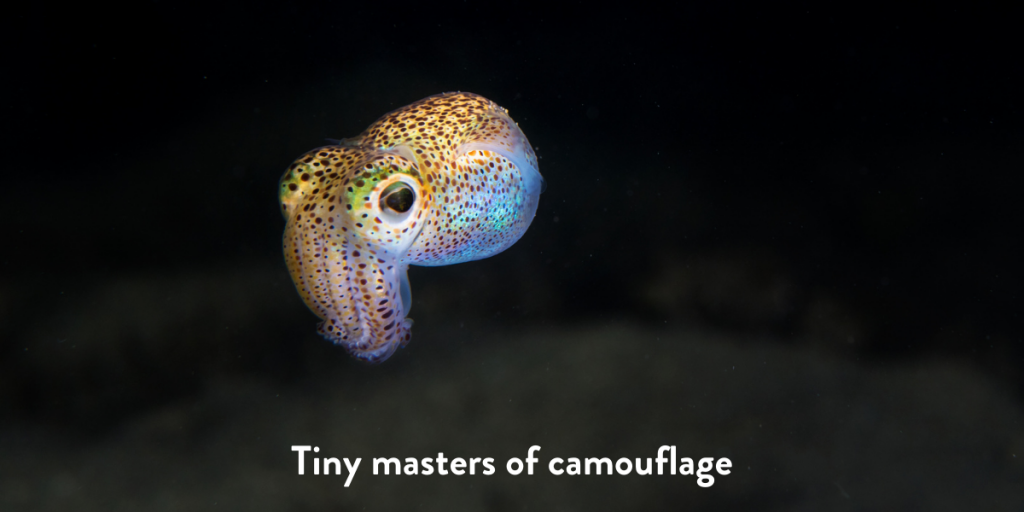 Tiny bobtail squid floating in the ocean at night