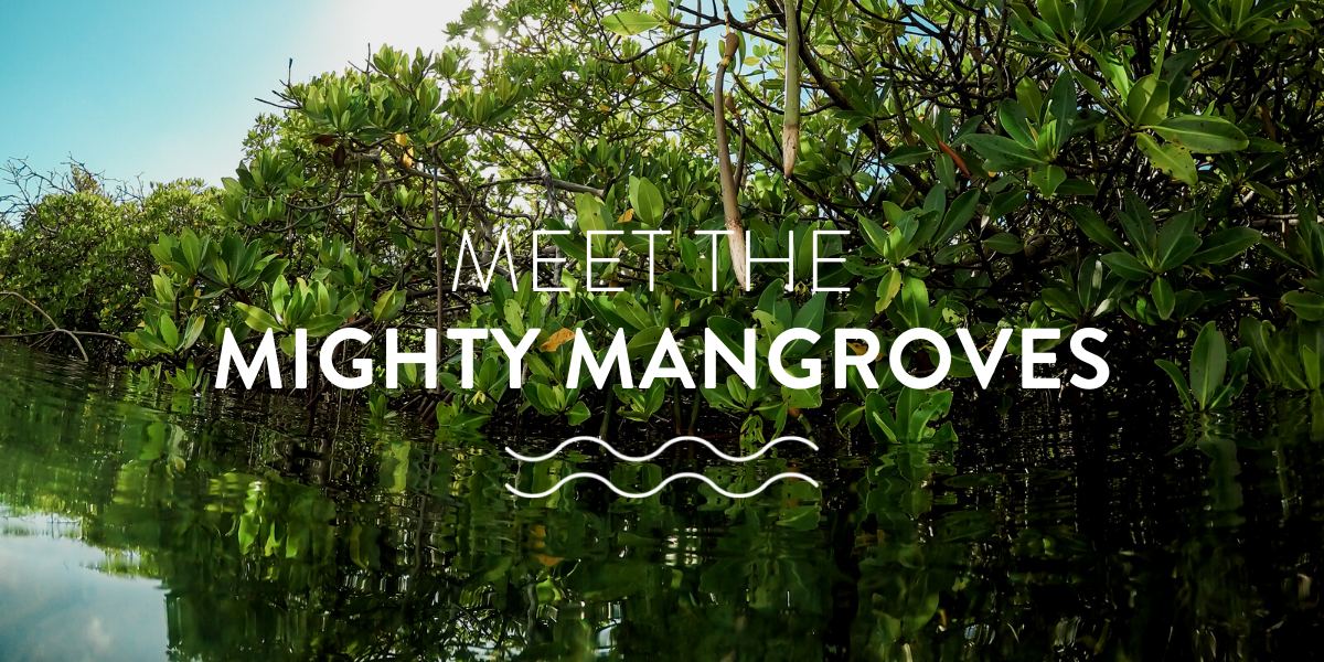 meet the mighty mangroves